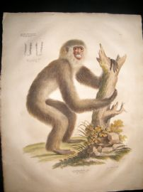 Goldfuss C1830 LG Folio Hand Colored Print. Gibbon Monkey